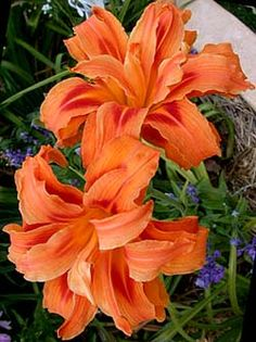 Kwanso Double Daylily.  Gorgeous bright double orange with a red triangular eyezone. Startling and very vigorous. Give this one room.