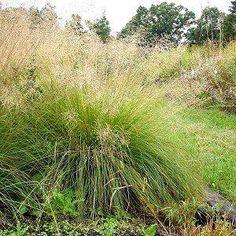 Sporobolis heterolepis Prairie Dropseed