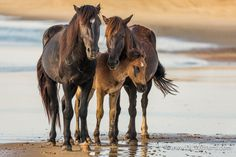 Family Portrait - Family portrait of wild horses at the beach on the Outer Banks of North Carolina. To see more: DLWaters.com #animal #animals #baby #banks #bay #beach #beauty #brown #carolina #chestnut #close #colt #corolla #cute #equestrian #equine #family #foal #horse #horses #mammal #mare #mother #natural #nc #north #obx #ocean #outer #parent #portrait #scene #stallion #three #wild #wildlife #young