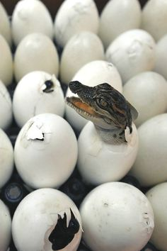 Alligator Hatching