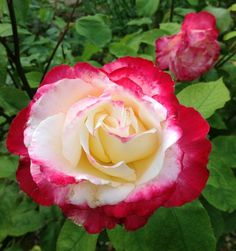 Rose Double Delight- best smelling rose ever