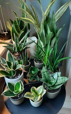 House Plants Decor, Plant Decor, Planting Succulents, Planting Flowers, Sansevieria Plant, Inside Plants, Plant Aesthetic, Plants Are Friends, Plant Cuttings