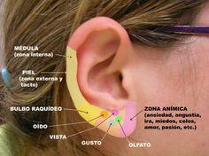 Auriculoterapia (4/11) . El reflejo auricular                                                                                                                                                                                 Más