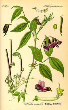 Flora von Deutschland Österreich und der Schweiz (1885) lechz garni