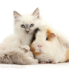 I love my guinea pig!
