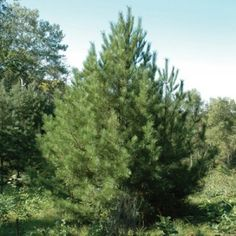 Korean Stone Pine Nut Tree has large and tasty nuts that are gathered in Korea and eastern Russia are prized for their rich flavor and nutritional value. Trees And Shrubs, Trees To Plant, Pine Nut Tree, Wind Break, Zone 5, Ornamental Plants, Fruit Trees, Dream Garden, Hedges