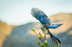nature_org - Photographing island scrub-jays on Santa Cruz Island in California was a walk in the park for photographer @moheim. These jays have an apparent lack of fear to the island's relatively few visitors and remoteness.