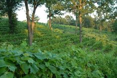 Vogel Family Vineyards in Galena, Kansas has a plethora of fantastic scenery, as well as more than a few grapes.