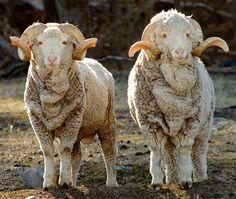 "Baby merino sheep - - - They look like their ""sweaters"" are too big. LOL"
