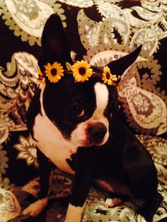 Boston Terrier #prettygirl
