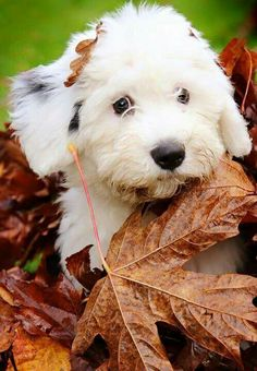 Old English Sheepdog puppy playing in the leaves. Really Cute Puppies, I Love Dogs, Cute Dogs, Best Dog Breeds, Best Dogs, Chien Bobtail, English Sheepdog Puppy, Baby Puppies, Beautiful Dogs
