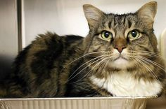 "RESCUED>OUT OF TIME!!  NAME: Bart  ANIMAL ID: 24466899 BREED: Maine Coon mix  SEX: Neutered Male  EST. AGE: 4 yrs  Est Weight: 14.7 lbs Health:  Temperament: friendly-  ADDITIONAL INFO: O/S ""Doesn't like other pets"" Declawed on front *INSIDE ONLY* RESCUE PULL FEE: SPONSORED!!"