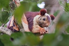 Part panda?Giant  Squirrel | Malabar-Giant-Squirrel