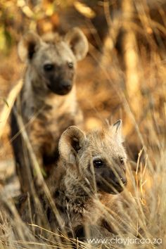 Hyena Pups - Cape Town Photographers | Clay Jar Photography