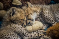 Tombi & Ilangha drift off to dream land together. Goodnight everyone! Photo: Todd Lahman