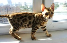 TOP 35 Bengal kittens (11)