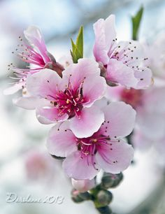 Cloud of Pink Peach Tree Blossoms by Darolanne Pet. - Cloud of Pink Peach Tree Blossoms by Darolanne Pet. Peach Blossom Tree, Chinese Cherry Blossom, Peach Trees, Peach Blossoms, Blossom Trees, Blossom Flower, Flower Images, Flower Pictures, Flowers Nature