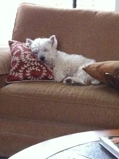 """Westies; I guess this is what """"dog tired"""" looks like."""