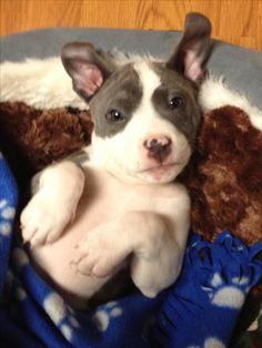 Pit bull puppy, Abraham <3