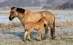Konik horses- decedents of the prehistoric Tarpan horses