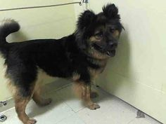 TO BE DESTROYED 8/15/14  Manhattan Center    My name is EMILY. My Animal ID # is A1009674.  I am a female black and brown chow chow and germ shepherd mix. The shelter thinks I am about 5 YEARS old.   I came in the shelter as a STRAY on 08/07/2014