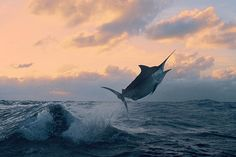 A black marlin photographed off Ribbon Reef #5 on Australia's Great Barrier Reef on April 18, 2005.
