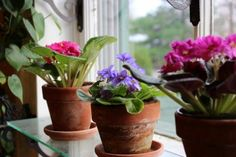 African Violets: How to Achieve Constant Bloom (A Garden for the House)