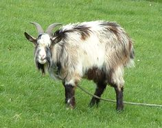 goat breeds - Google Search