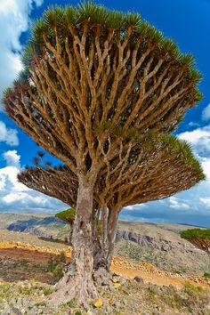 of dragon's blood trees by Anthony Pappone on 500px