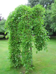 Weeping trees tend to be lovely cultivars that work well as specimen trees and focal points in the landscape. Check out these 19 great options for weeping trees. Garden Shrubs, Garden Trees, Lawn And Garden, Small Weeping Trees, Small Trees, Decorative Garden Fencing, Garden Fence Panels, Trees And Shrubs, Trees To Plant