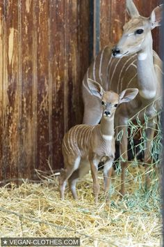 #cuteanimals #babyanimals #gazelle #animals #nature