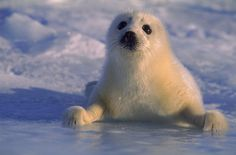 Harp seal pup (Phoca groenlandica) Gulf of St Lawrence Canada. Cute Baby Animals, Animals And Pets, Animal Babies, Harp Seal Pup, Baby Seal, Young Animal, Kittens And Puppies, Training Your Puppy, Beautiful Creatures