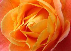 Perfect Peach Rose Fine Art Print - Ramona Johnston
