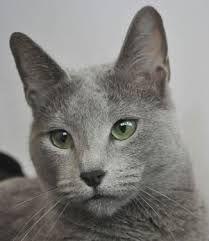 Výsledek obrázku pro Russian blue cat