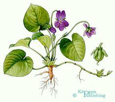 Veilchen - Viola odorata