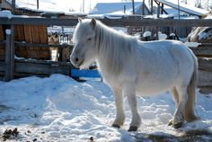 In the backyard. Motya said that every village family has two or three Yakut horses. This white one belongs to her parents and its name is Shedry (Generous).
