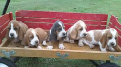 my basset hounds puppies