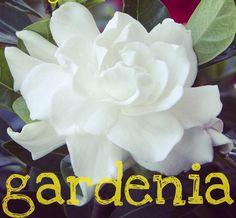 Gardenia Body Scrub by TahoeChicScrubs on Etsy