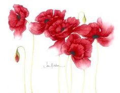 Poppies botanical illustration by Jan Harbon.