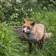 Fox by Hehaden Flickr