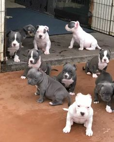 Animals Discover Pitbull Pets - Devu - Your Magazine Pit Puppies Cute Dogs And Puppies Baby Dogs Doggies Bebe Staff Cute Baby Animals Funny Animals Amstaff Terrier Bull Terrier Pit Puppies, Cute Dogs And Puppies, Baby Dogs, Pet Dogs, Pets, Doggies, Chihuahua Dogs, Pitbull Dog Puppy, Bully Dog