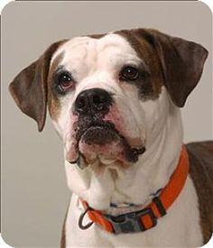 Columbus, OH - Boxer Mix. Meet Brock, a dog for adoption. http://www.adoptapet.com/pet/12737007-columbus-ohio-boxer-mix