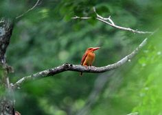 a ruddy kingfisher in inbanuma, japan