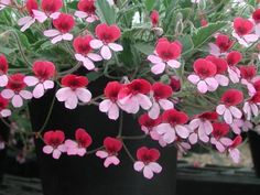Pelargonium Varieties: Species Hybrids