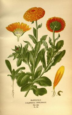 v. 2 - Favourite flowers of garden and greenhouse / - Biodiversity Heritage Library