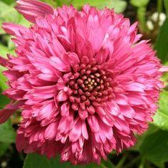 CONEFLOWER                                             Echinacea  'Secret™ Affair'