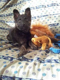 My puppy dutch shepherd! !! 3 months