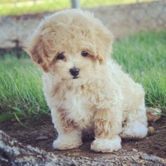 My white footed Maltipoo!
