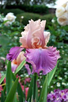 Tall Bearded Iris 'Sweet Musette'