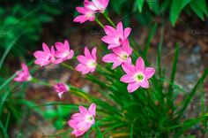 Rain Lily or Zephyranthes grandiflora flower on green background by IIrinaSS on @creativemarket
